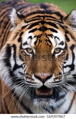 Siberian Tiger face close up portrait/Siberian Tiger/Siberian Tiger  - stock photo
