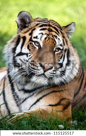 Siberian Tiger Head and Shoulders Portrait/Tiger Close Up - stock photo