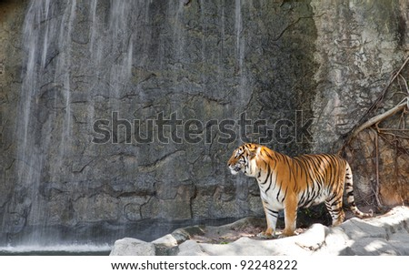 Siberian Tiger in front of the waterfall in a zoo - stock photo