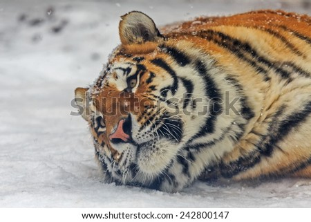 Siberian tiger is lying in the snow - stock photo