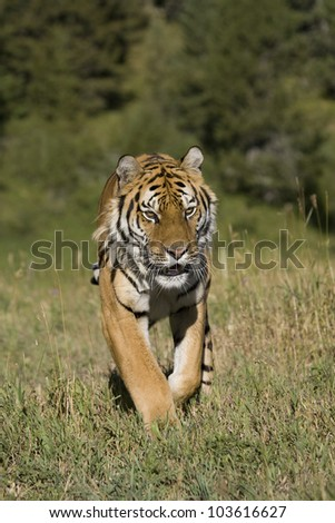 Siberian Tiger on the move - stock photo