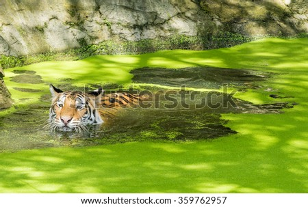 Siberian tiger or Amur tiger (Panthera tigris altaica) in Mosquito fern water - stock photo
