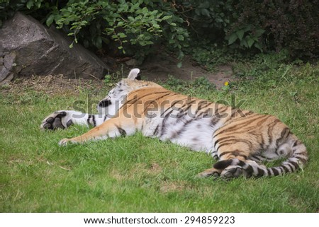 Siberian tiger (Panthera tigris altaica) lying in the grass. - stock photo