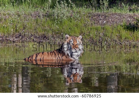 Siberian tiger (Panthera tigris altaica) takes a swim in a forest pond. - stock photo