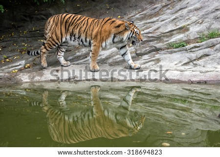 Siberian tiger ready to attack looking at you in the rocks background - stock photo