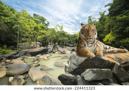 Siberian tiger relaxing  in wiild nature. - stock photo