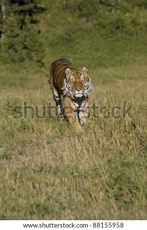 Siberian Tiger running - stock photo