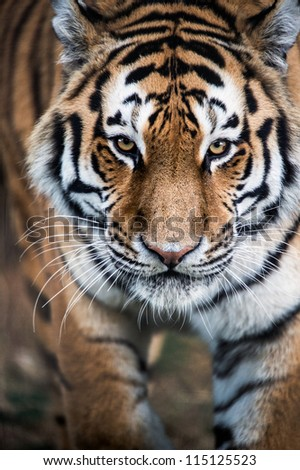 Siberian Tiger Stalking Toward the Viewer/Stalking Tiger - stock photo