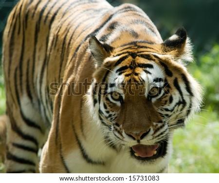 Siberian tiger (Tiger Panthera tigris altaica) - stock photo