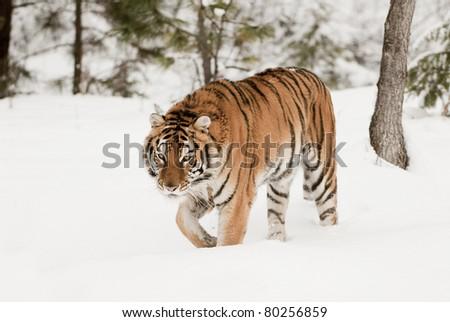 Siberian tiger walking in fresh snow - stock photo