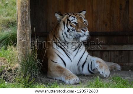 SibirischerTiger, Siberian tiger - stock photo