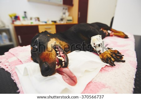Sick dog is lying after surgery in the veterinary clinic. - stock photo