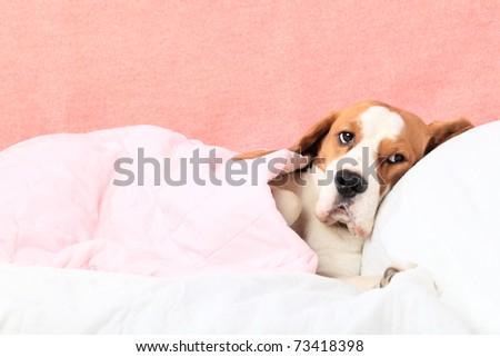 Sick dog under a blanket. - stock photo