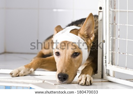Sick dog with bandages - stock photo