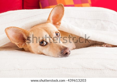 sick ill  dog in bed resting or sleeping - stock photo