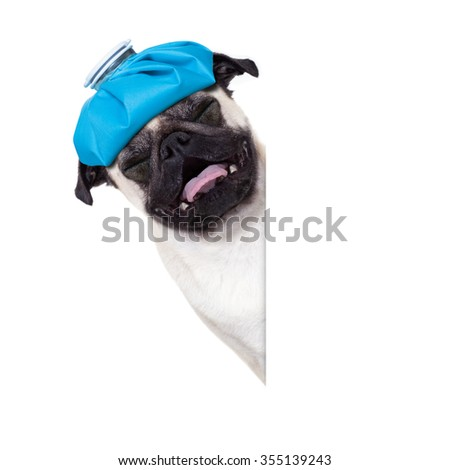 sick ill pug  dog  with  headache isolated on white background - stock photo