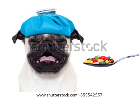 sick ill suffering pug dog with ice bag on head getting medicine pills on a spoon, isolated on white background  - stock photo