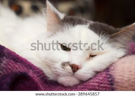 Sick turkish angora cat sleeping on the plaid - stock photo