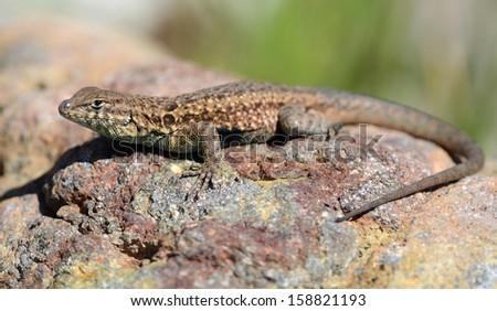 side blotched lizard - stock photo