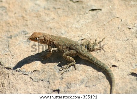 Side Blotched Lizard On Cedar Mesa Utah - stock photo