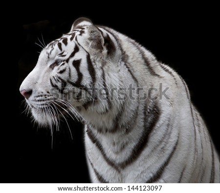 Side face portrait of a white bengal tiger, isolated on black background. - stock photo