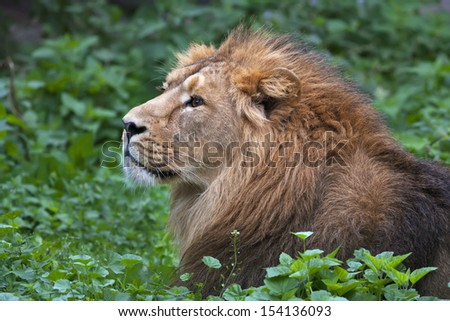 Side face portrait of an Asian lion, lying among green grass. The King of beasts, biggest cat of the world. The most dangerous and mighty predator of the world. Wild beauty of the nature. - stock photo