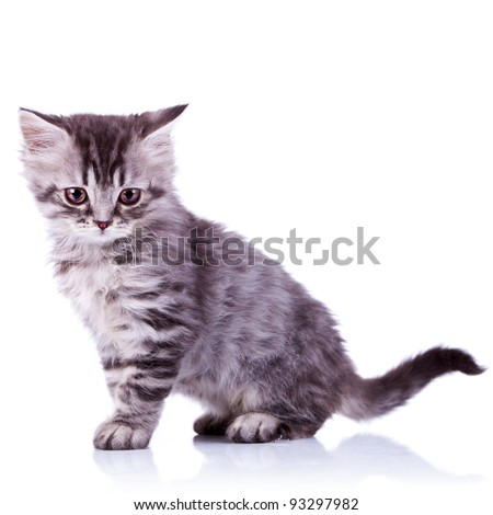side image of a cute silver tabby baby cat looking at the camera on white background - stock photo