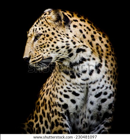 side of Leopard - stock photo
