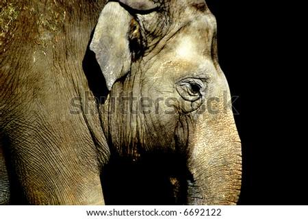 side portrait of an elephant - stock photo