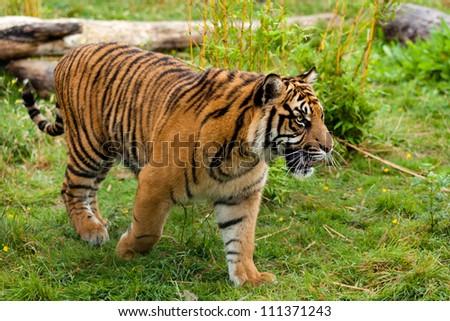 Side Portrait of Young Sumatran Tiger Panthera Tigris Sumatrae - stock photo