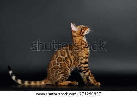 Side View Bengal Cat on Black Background Looking up - stock photo