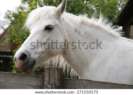 Side view head shot of a gray pony horse. Closeup of a white pony horse. Pony looking over the corral door - stock photo