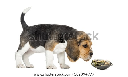 Side view of a Beagle puppy sniffing a turtle lying on its back, isolated on white - stock photo