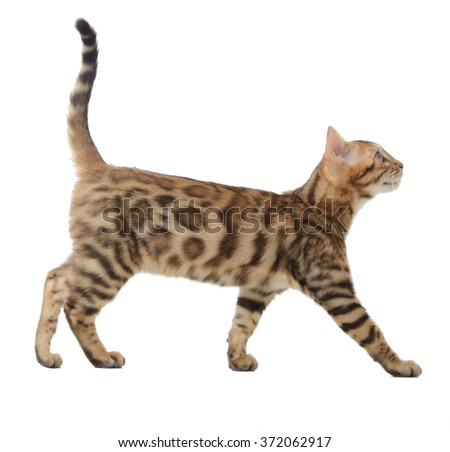 Side view of a bengal cat walking and looking up into a copy space isolated on a white background - stock photo