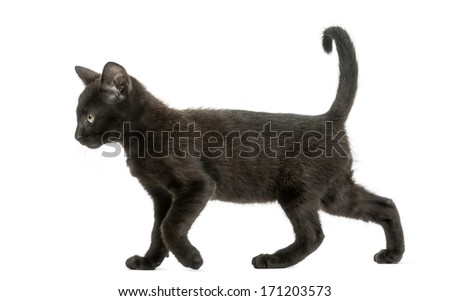 Side view of a Black kitten walking, 2 months old, isolated on white - stock photo