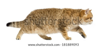 Side view of a British shorthair walking, on the prowl, isolated on white - stock photo