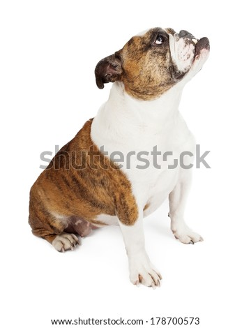 Side view of a Bulldog with an underbite looking up while sitting against a white backdrop - stock photo