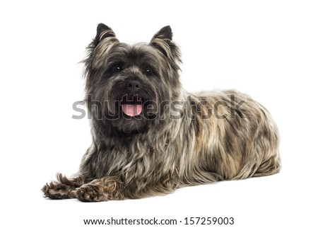Side view of a Cairn Terrier panting, looking at the camera, isolated on white - stock photo