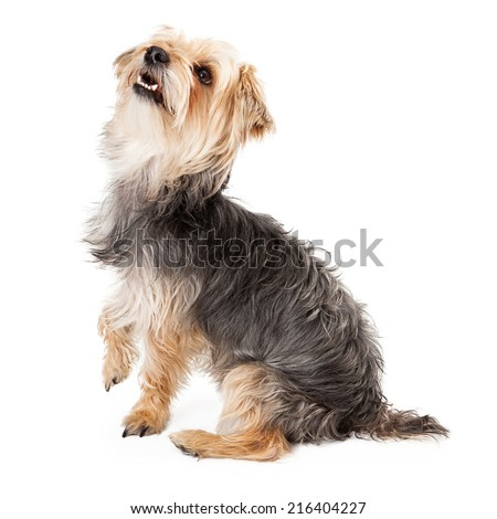 Side view of a cute and happy young Yorkshire Terrier dog sitting and looking up - stock photo