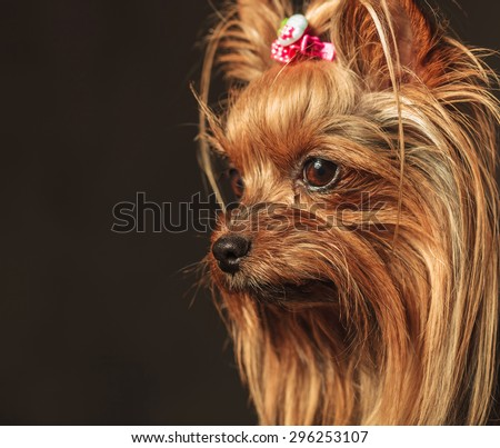 side view of a cute yorkshire terrier puppy dog's head looking away from the camera - stock photo