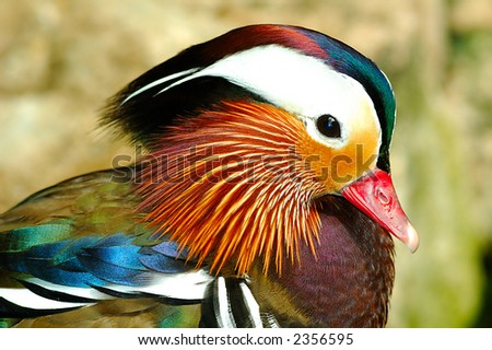 Side view of a exotic mandarin duck. Mandarin duck symbolize good faith to lover in Orient. - stock photo
