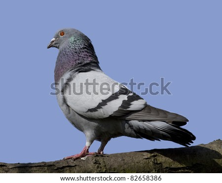 Side view of a feral pigeon on a branch taken in direct sunlight against a plain blue sky. - stock photo