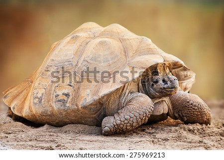 Side view of a large Chelonoidis  nigra, commonly known as Galapagos Tortoise, a giant turtle native to the Galapagos Islands - stock photo