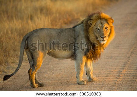 Side view of a Lion standing at sunrise, Panthera Leo, Kruger National Park, near Satara Camp, South Africa. - stock photo