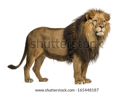 Side view of a Lion standing, Panthera Leo, 10 years old, isolated on white - stock photo
