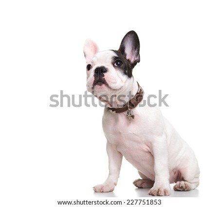 side view of a little french bulldog puppy sitting and looking at something up - stock photo