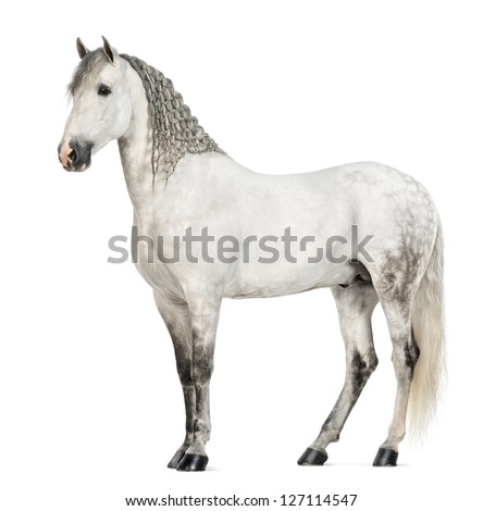 Side view of a Male Andalusian with plaited mane, 7 years old, also known as the Pure Spanish Horse or PRE against white background - stock photo