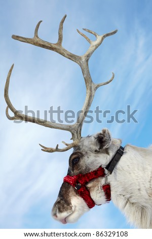 Side view of a muzzle of reindeer - stock photo