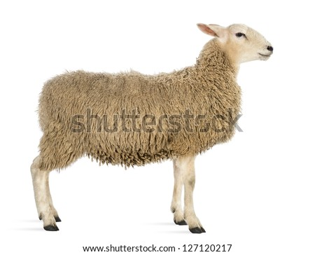 Side view of a Sheep against white background - stock photo