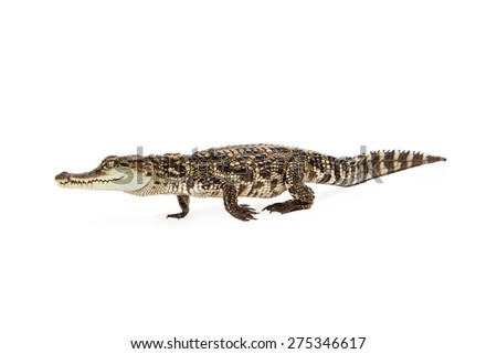 Side view of a six month old baby Siamese Crocodile, a red-listed critically endangered species walking - stock photo